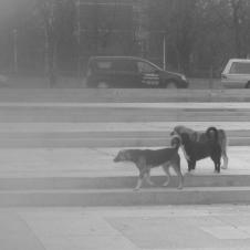 Ein paar Hunde einer größeren Gruppe, die in Galati ihr Unwesen treibt.